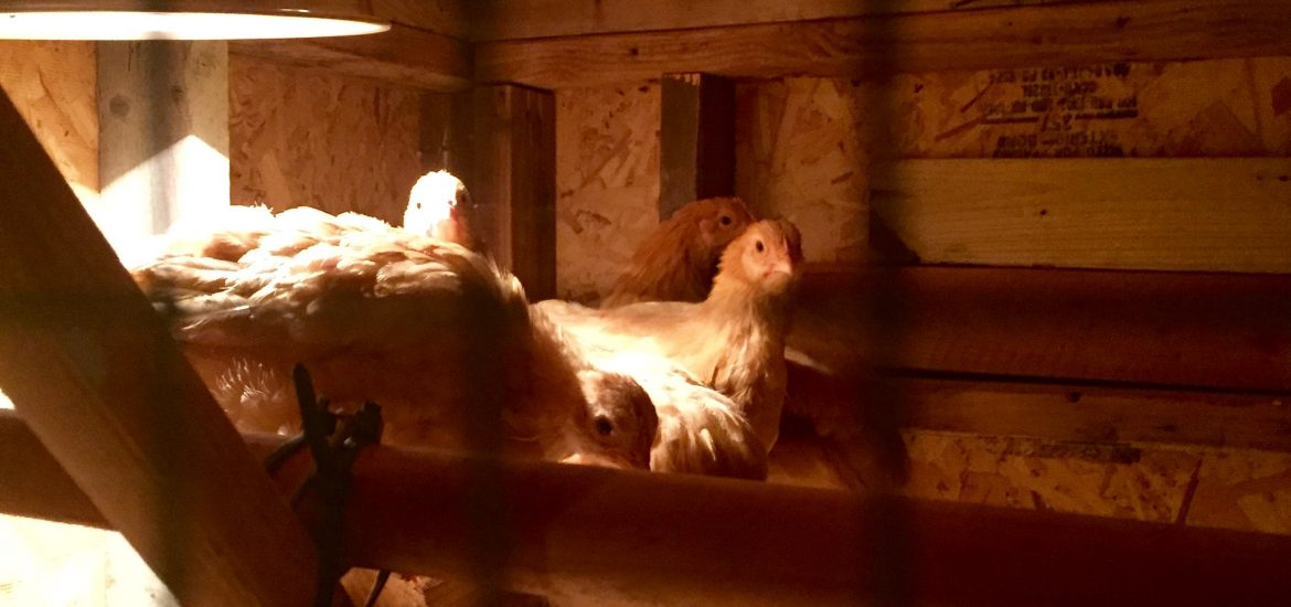 Chickens have roosting down now.